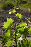 Jeune vigne de grap Photo stock