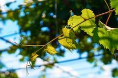 Jeune vigne verte fraîche sur un fond ensoleillé de ciel bleu Photos libres de droits