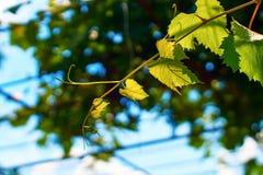 Jeune vigne verte fraîche sur un fond ensoleillé de ciel bleu Photos stock