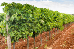 Jeune vigne verte sur le vignoble Photo libre de droits
