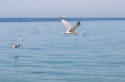 Jeune vol de mouette d'harengs le long de la mer Image stock