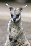 Jeune Wallaby Image libre de droits