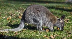 Jeune wallaby du ` s de Bennett Image libre de droits