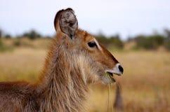 Animaux africains du sud Images libres de droits