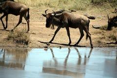 Jeune Wildebeest (Kenya) Images libres de droits
