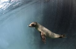 Jeune wollebaeki de Zalophus d'otarie de Galapagos sous-marin Photographie stock