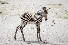 Jeune zèbre (burchelli d'Equus) Photographie stock libre de droits
