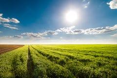 Jeune zone de blé images libres de droits