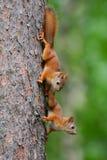Jeunes écureuils Photo stock
