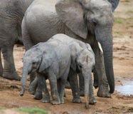 Jeunes éléphants africains au point d'eau Images stock