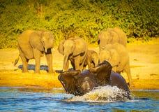 Jeunes éléphants jouant dans l'eau photos libres de droits