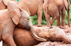 Jeunes éléphants jouant dans la boue images stock