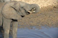 Jeunes éléphants se tenant dans l'eau avec le tronc dans la bouche Image libre de droits
