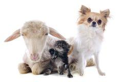 Jeunes agneau, chaton et chiwawa Images libres de droits