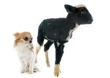 Jeunes agneau et chiwawa Photos libres de droits
