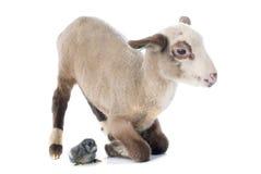Jeunes agneau et poussin Images stock