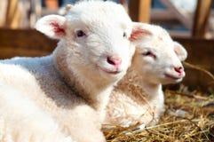 Jeunes agneaux regardant l'appareil-photo tout en mangeant Images libres de droits