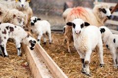 Jeunes agneaux jouant et mangeant autour à la ferme locale et rurale Image stock