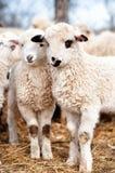 Jeunes agneaux mignons mangeant l'herbe ou le foin Photos libres de droits