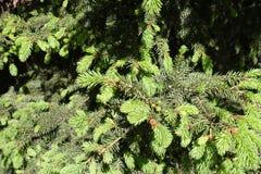 Jeunes aiguilles vert clair et vieilles aiguilles vert-foncé de sapin Images libres de droits
