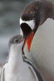Jeunes alimentants de pingouin de Gentoo, Antarctique Image libre de droits