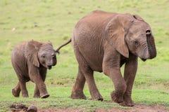 Jeunes amis d'éléphant africain Photos libres de droits