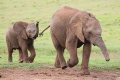 Jeunes amis d'éléphant africain Photographie stock