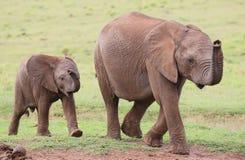 Jeunes amis d'éléphant africain Images stock