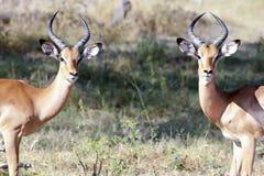 Jeunes antilopes mâles - impalas Photographie stock libre de droits