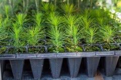 Jeunes arbres de pin, de sapin, de sapin, de séquoia et d'autres arbres coniféres dans des pots dans la pépinière d'usine Boutiqu photos libres de droits