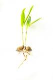 Jeunes arbres de plam Images stock