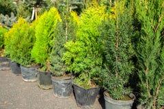 Jeunes arbres des buissons et des arbres coniféres dans des pots dans la pépinière d'usine Boutique des usines, magasin de jardin image stock