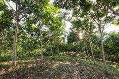Jeunes arbres en caoutchouc Plantation en caoutchouc Photo stock