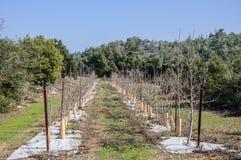 Jeunes arbres nouvellement plantés Photographie stock