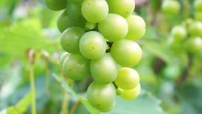 Jeunes baies vertes de raisin sur l'arbre Groupe non mûr de raisins verts banque de vidéos