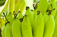 Jeunes bananes. Images stock