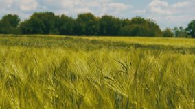 Jeunes blé et épillets verts dans un domaine clips vidéos