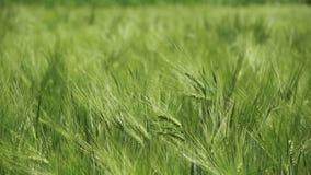 Jeunes blé et épillets verts dans un domaine Mouvement lent clips vidéos