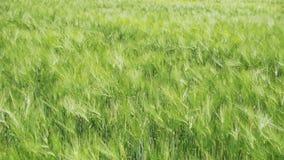 Jeunes blé et épillets verts dans un domaine Mouvement lent banque de vidéos