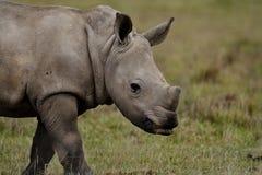 Jeunes blancs de rhinocéros, Kenya Images libres de droits