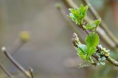 Jeunes bourgeons au printemps photo stock