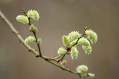 Jeunes bourgeons au printemps image libre de droits