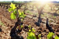 Jeunes bourgeons de vigne s'élevant dans le vignoble Photo libre de droits