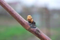 Jeunes bourgeons sur les vignes au printemps Image libre de droits