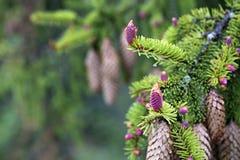 Jeunes branches impeccables avec des cônes sur le fond de vieux cônes Photos libres de droits