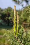 Jeunes branches vertes de pin dans la portée de lumière du soleil pour le ciel Fond photos stock