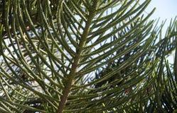 Jeunes branches vertes de plan rapproché à feuilles persistantes d'araucaria d'araucaria d'arbre conifére photos libres de droits