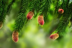 Jeunes cônes de pin sur les branches d'un pin Fond brouillé naturel avec l'usine conifére au printemps photos libres de droits