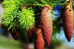 Jeunes cônes de sapin, nouvelles pousses de sapin, ciel bleu photo stock
