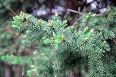 Jeunes cônes de pin Photos libres de droits